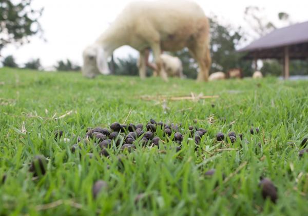 feces sheep in the farm 1026017896 4300x3009 2